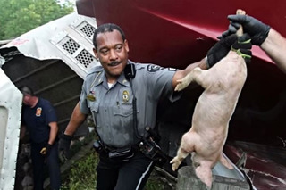 Watch 2,200 Pigs Cause a Highway Mess in Ohio