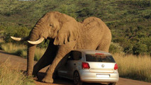 Driver and passenger blocked in Volkswagen Polo by very friendly elephant